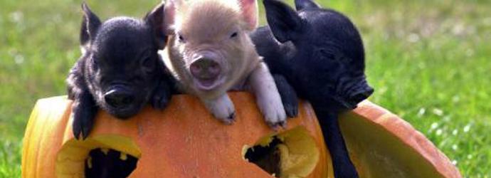 pennywell pigs in pumpkin banner