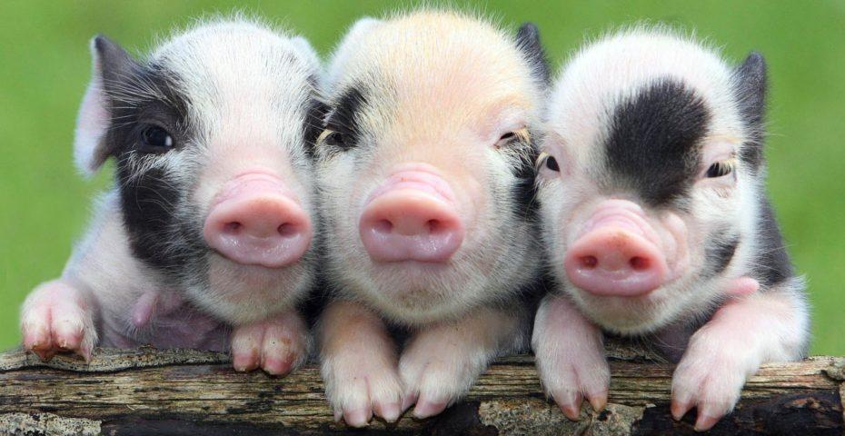 Spring wildlife in South Devon - miniature pigs