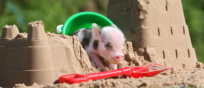 Pennywell's piglets - kids love them!