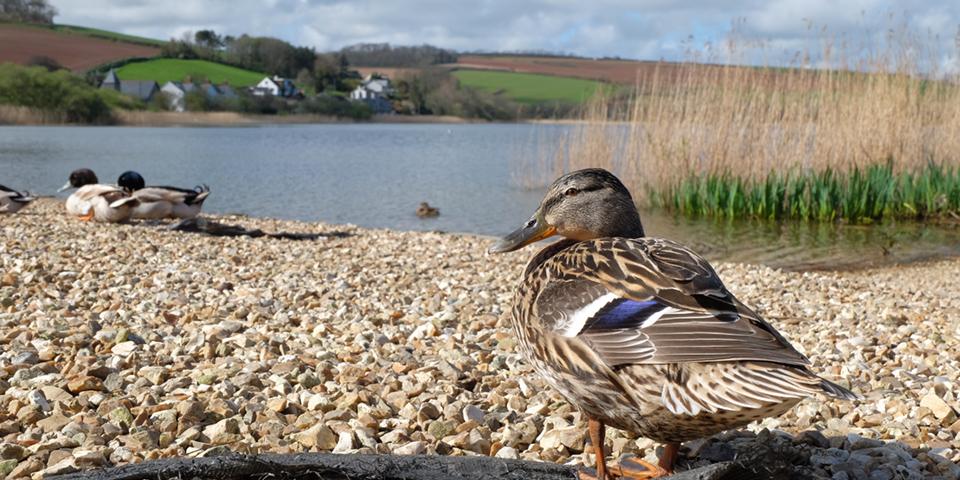 Torcross Ducks ML