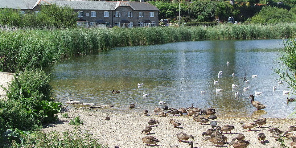 Torcross ducks
