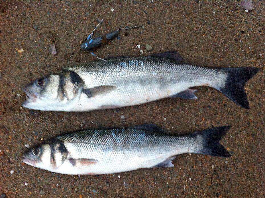 Our Operations Director caught these two bass at Bantham