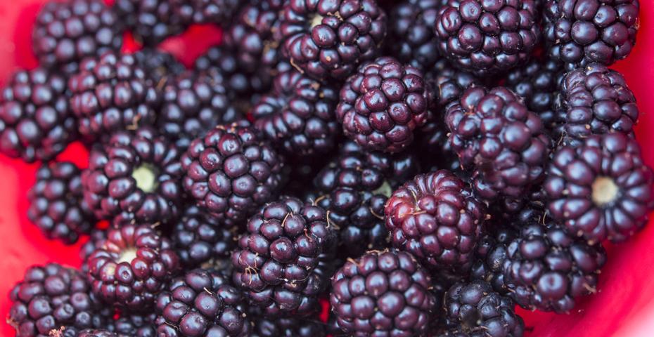 Blackberries in South Devon