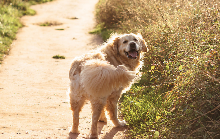 A golden retriever excited about a walk in South Devon.
