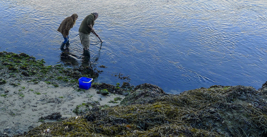 Foraging for seaweed in South Devon