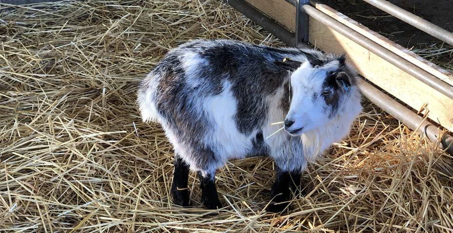 October half term in South Devon - goats at Pennywell Farm