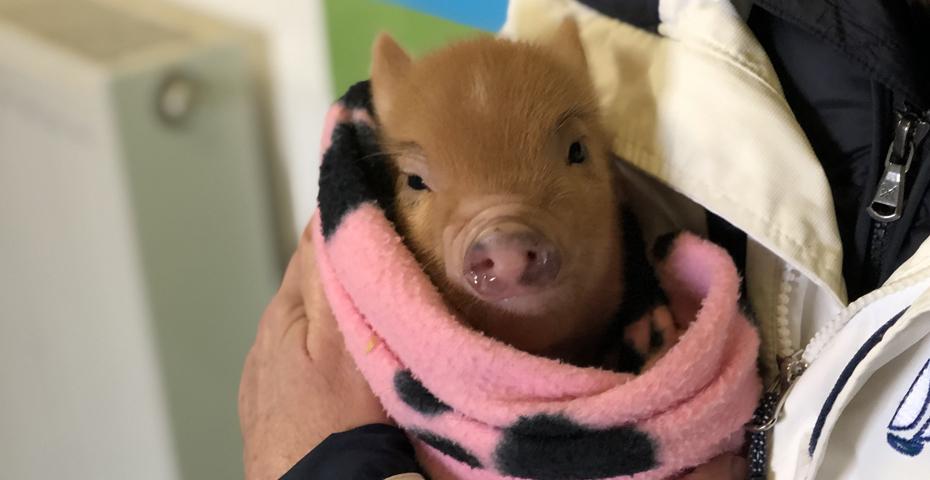 October half term in South Devon - piggy cuddles at Pennywell Farm