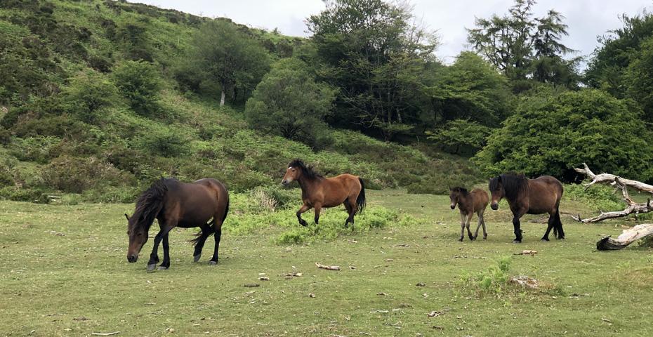 Dartmoor ponies spotted on Dartmoor walks
